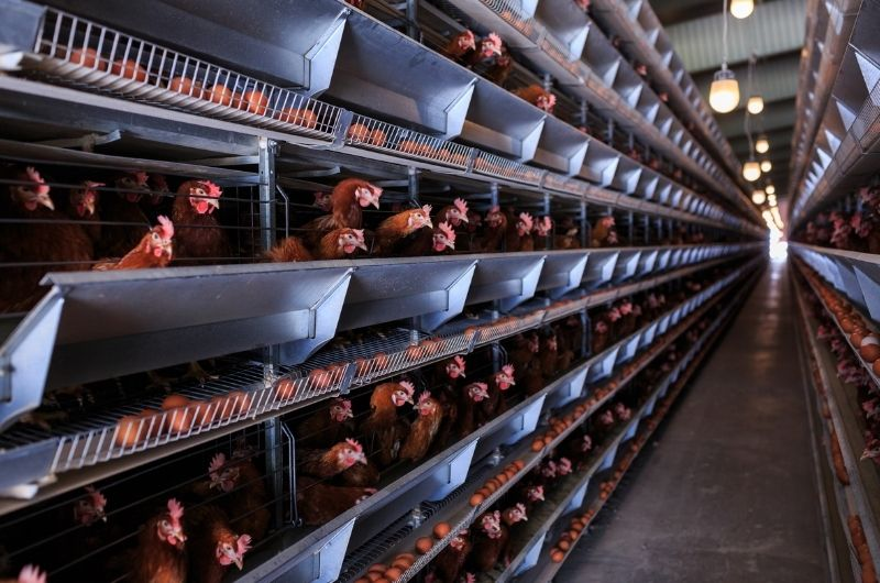 Egg production leaves a terrible carbon footprint