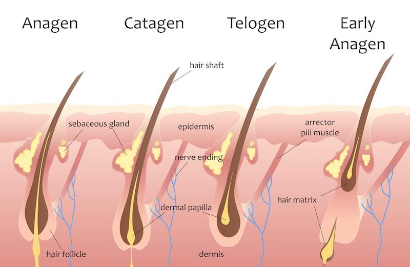 Human head hair growth cycle. Anagen, Catagen, Telogen.