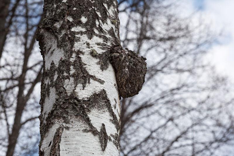 A Chaga mushroom that is growing on a birch tree.