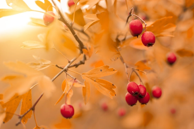 A rosa hips tree.
