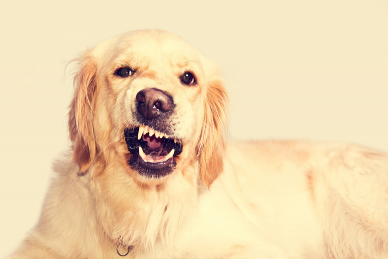 A picture of a golden retriever, who has the loudest bark of all dogs.